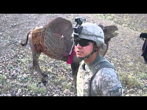 Amerykańscy żołnierze na wielbłądach