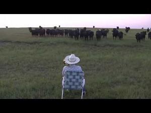 Trąbienie dla krów