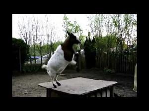 Reprezentacyjna koza