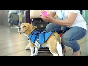 Pies pracujący na lotnisku, który zamiast narkotyków szuka właścicieli zgubionych rzeczy