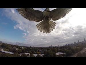 Jastrząb atakuje drona