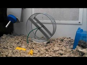 Leniwy chomik