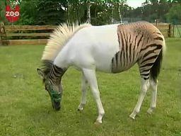 Pół-koń, pół-zebra