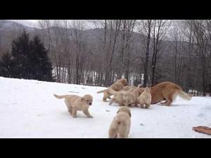 Golden retriever bawi się ze szczeniakami
