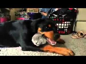 Rottweiler kocha swojego kota tak mocno!