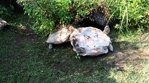 Jeden żółw robi coś drugiemu żółwiowi