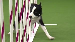 Tex - zwycięzca psiego konkrusu zwinności