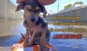 Dzielny pies uratowany przez człowieka