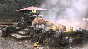Kapibary w jacuzzi