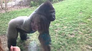 Kiedy goryl w zoo atakuje