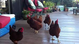 Kurczaki są fajne