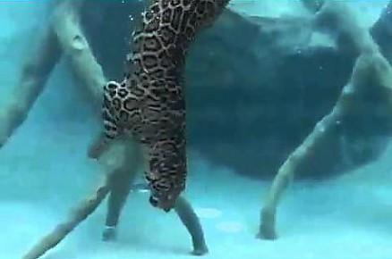 Jaguar łowi pożywienie pod wodą