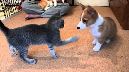 Corgi walczy z kotem