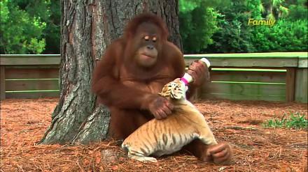 Orangutan opiekuje się młodymi tygrysami