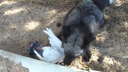 Lis cieszy się, że dorwał gołębia