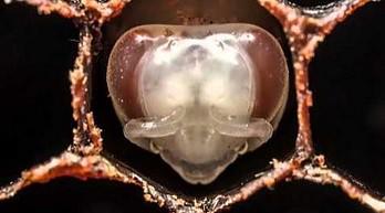Od larwy do pszczoły