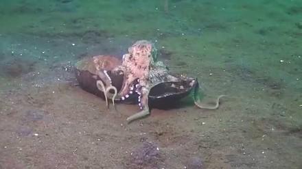Ośmiornica niesie sobie skorupy kokosa