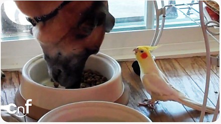 Papużka śpiewa psu do obiadu