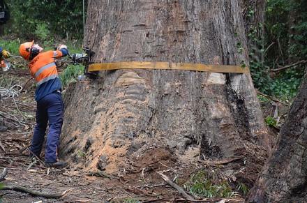 Wycinananie 80-metrowych drzew