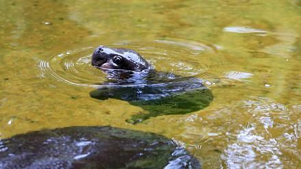 Pierwsza kąpiel hipopotamiątka