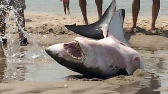 Plażowicze uratowali życie żarłacza białego wyrzuconego na brzeg