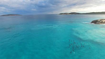 Stado delfinów serfujących na fali