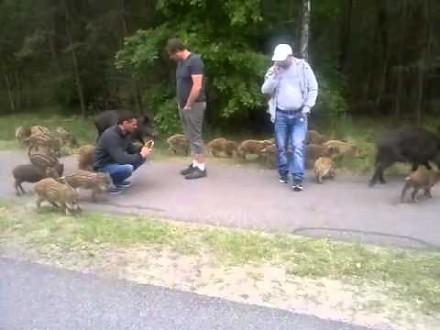 Polskie dziki zaprzyjaźniają się z obcokrajowcami