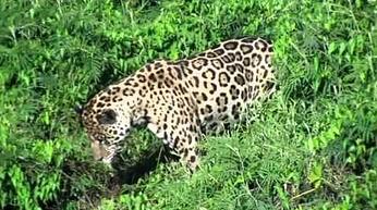 Natura potrafi zaskakiwać. Jaguar skacze do wody po swoją zdobycz