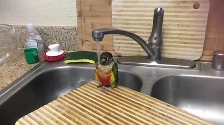 Papuga bierze prysznic w zlewie