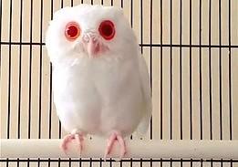 Rzadki okaz ptaka - sowa albinos