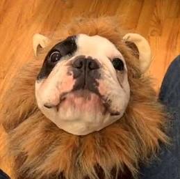 Manny - gadający lew