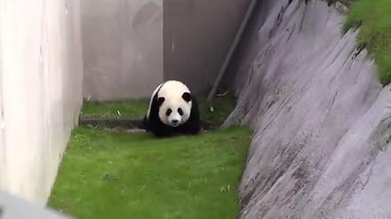 Zabawa z małą pandą w Japonii