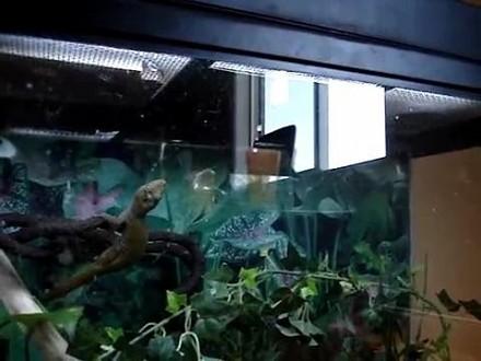 Gekon-ninja w ekwilibrystyczny sposób łapie sobie obiad