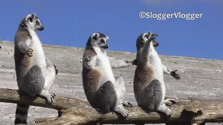 Lemury wyszły, by wygrzać sobie brzuszki
