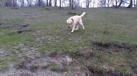 Labrador - ta niedobra grawitacja