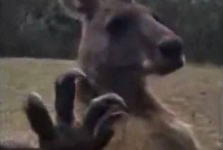 """""""Masz problem?"""" Kangur, który chce się bić"""