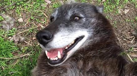 Dzikie zwierzęta też lubią pieszczoty. Na przykład wilki