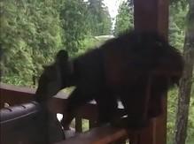 Niedźwiedź kaskader na balkonie jednego z domów