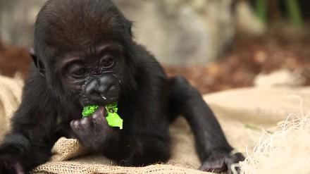Malutki gorylek wcina brokuł