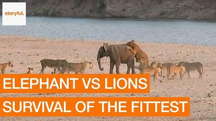 Największy złodupiec wśród słoni daje odpór stadu lwów. I jeszcze je pogania!
