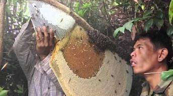 Zbieranie miodu od pszczoły olbrzymiej bez ubrania ochronnego
