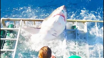 Szczęki na żywo - biały rekin dostał się do klatki z nurkiem