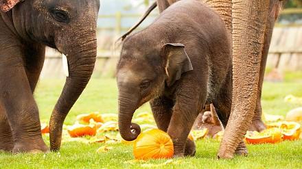 Słonie bawią się dyniami