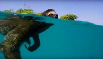 To nieprawda, że leniwce są nieruchawe