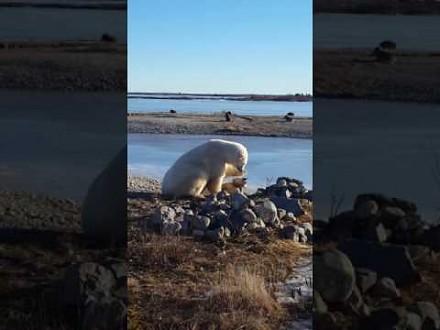 Miś polarny opiekuje się psem