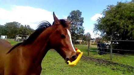 Koń bawi się gumowym kurczakiem. I zrobi ci tym dzień