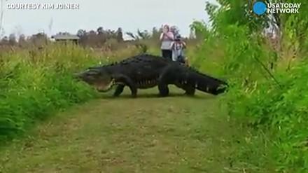 Ogromny aligator kroczy powoli