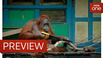 Dali orangutanom piły...
