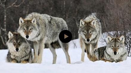 Jak wilki zmieniły rzeki po reintrodukcji?