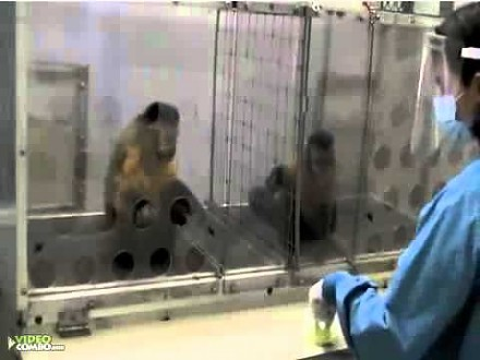 Ciekawy eksperyment z małpkami. Daj jednej ogórka, a drugiej winogrona